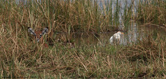 Calf and Bird (meredith_nutting) Tags: africa baby heron grass young rwanda hidden marsh hiding calf waterbuck eastafrica camoflague easternafrica