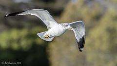 Ring-billed Gull (Bob Gunderson) Tags: california birds northerncalifornia us unitedstates gulls paloalto southbay santaclaracounty ringbilledgull larusdelawarensis shorelinelake