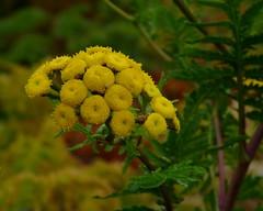Tansy (Dendroica cerulea) Tags: autumn plant ny newyork flower asteraceae tansy greenecounty tanacetum catskillmountains fav10 tanacetumvulgare asterales asteroideae anthemideae captainsinnpointlookout