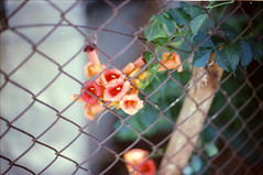 Blossoms of Jerusalem (Jaxx Analog) Tags: wood red plant colour green film leaves analog 35mm fence lens 50mm prime israel wire nikon jerusalem blossoms f3 analogue