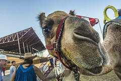 2015 Camel at Kansas State Fair (Andrea LaRayne Etzel) Tags: carnival animal closeup nikon midwest candid statefair humor fair depthoffield camel kansas kansasstatefair d7100 andrealarayneetzel