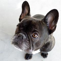 Good Morning! (Lainey1) Tags: leica dog oz bulldog frenchie frenchbulldog ozzy frogdog lainey1 zendog leicadlux4 elainedudzinski ozzythefrenchie