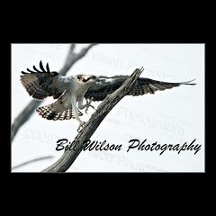 Tight Rope Walker (wildlifephotonj) Tags: bird nature birds wildlife raptor raptors osprey ospreys naturephotography naturephotos wildlifephotography wildlifephotos natureprints wildlifephotographynj naturephotographynj