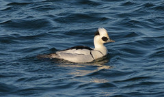 Smew at Draycote Water (robmcrorie) Tags: bird water duck nikon wildlife birding reservoir f56 drake warwickshire draycote 200500 smew