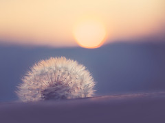 For sure the Last... (Stadt_Kind) Tags: sonya7 depthoffield dof bokehlicious bokeh pusteblume deutschland germany bavaria bayern kempten stadtkind sonnenuntergang dawn sunset dandelion