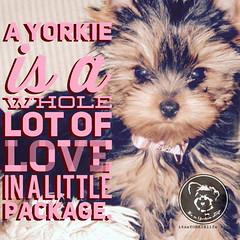 Click like if you agree. (itsayorkielife) Tags: yorkiememe yorkie yorkshireterrier quote