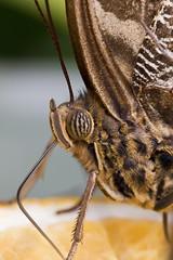 Closeup (michel1276) Tags: schmetterling butterfly mariposa papillon farfalle falter earthnaturelife