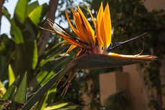 Bird of Paradise flower. (RagbagPhotography) Tags: pod seed plant multicolored multicoloured birdofparadise flower espaa spain murcia resort golf marmenor
