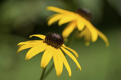 Black-eyed Susans (johngoucher) Tags: approved flower flowers yellow outdoor nature backyard maryland plant blackeyedsusan summer