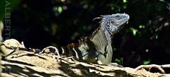 Robertito........ (alberto vtr) Tags: roatn hondurasgumbalimbapark gumbalimba park honduras iguana mascota animal terrestre america