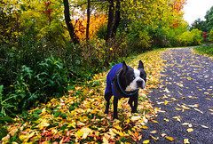 Bully doing his business (lezumbalaberenjena) Tags: fall autumn automne autumne otoo otoal 2016 rideau river rio dog boston terrier bully