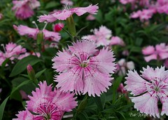 Late Summer Dianthus's (Bob.W) Tags: dianthus ngc