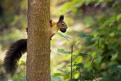 Expect a cold winter :-) (cosovan.vadim) Tags: squirrel forest fall nikon d750 sigma 70300mm nut