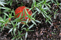 Sorpresa entre jaras (Ana_Lobo) Tags: amanita seta micología jaras campo canoneos zamora color 30d