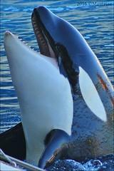 Marineland Antibes (Mantrize) Tags: marinelandantibes marineland antibes france ctedazur bluecoast costaazul bottlenosedolphin delfinmular delfines dolphins delfini golfinhos delfiner yunus dolfijnen orcinusorca orcas killerwhale cetacean cetaceos marinemammals mamiferosmarinos californiansealions leonesmarinosdecalifornia zalophuscalifornianus southamericansealion leonmarinosudamerica otariabyronia focacomun harbourseal phocavitulina foca seal pinnipedos pinnipeds stellersealion leonmarinodesteller inouk wikie moana keijo sharky lotty malou rocky dam kai neo nala anya joseph tux laska fox