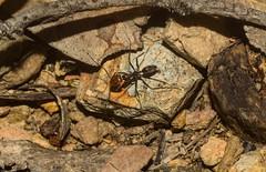 Tyrant Ant (dustaway) Tags: arthropoda insecta hymenoptera apocrita formicidae dolichoderinae iridomyrmex tyrantant australianinsects clagiraba coomeravalley queensland australia nature