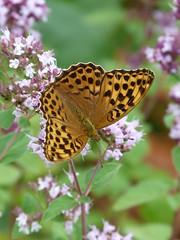 P1000497 (2) (rolfjanove) Tags: sweden nature landscape flowers butterflys panasonic lumix rolfjanove fz45