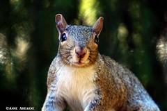 Eastern Gray Squirrel Close-up (--Anne--) Tags: squirrel squirrels animals nature wildlife graysquirrel