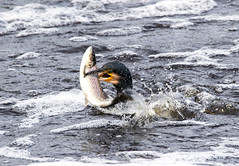 Cormorant with a catch (steven waddingham) Tags: bird nature song sea wild trout fish