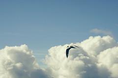 Flight (Erik Schepers) Tags: patagonia rio negro argentina viedma las grutas whiletraveling travel dunes ocean sea sealife beach wanderlust wander adventure outdoor gaviotin tern stern bird flying