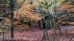 Tintern Woods (Ken Meegan) Tags: tinterntrails tinternwoods tinternabbey saltmills cowexford ireland woods autumn wood trees tree