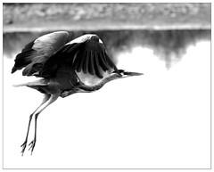 Incoming ! (Wilco1954) Tags: birdwatching landing greyheron uk lancashire aphotographersnature
