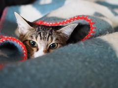 PA304971 (catfish.boogie) Tags: olympusomdem5 mzuikodigital25mmf18 japan hokkaido sapporo cat