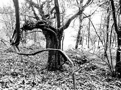 Dolmen de Saladis - tree. (AJ Mitchell) Tags: deadwood gnarled twisted expressive woodland