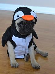 Boo The Penguin Pug (DaPuglet) Tags: pug penguin pugs dog dogs puppy puppies animal animals pet pets costume halloween cute