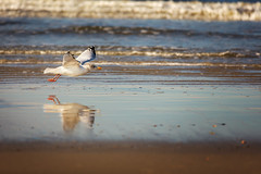 Seagull in the Mirror (bhansen.kiel) Tags: seagull mwe mirror spiegel spiegelung reflection ocean ozean northsea nordsee meer water beach strand wasser wave welle bokeh 200mm dnemark urlaub vacation graerup canon 5dsr natur nature animal vogel bird light licht autumn
