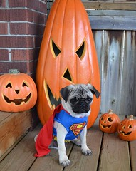 Boo Superman Pug (DaPuglet) Tags: pug pugs dog dogs puppy puppies pet pets animal animals costume halloween superman superpug cape funny cute superhero