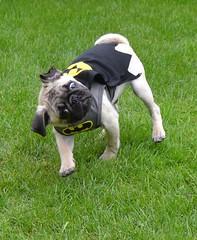 "Boo Lefou the ""Bark Knight"" Na na na na Na na na na BAT PUG! (DaPuglet) Tags: pug batman batpug pugs dog dogs pets pet animal animals outdoor costume halloween funny cute comical silly puppy puppies superhero coth coth5"