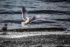 Landing (pchida) Tags: bird birds beach water sand nikonphotography blackandwhite