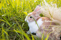IMG_1678.jpg (ina070) Tags: animals canon6d cute grass outdoor outside pets rabbit rabbits