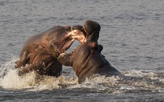 Hippo in fight (José Rambaud) Tags: hippo hippopotamus hippopotamusamphibius hipopotamo mammals mamiferos animal animals animales wild wildlife botswana chobe
