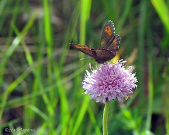 Vlinder (♥ Annieta  off/on) Tags: annieta juli 2016 holiday vakantie vacances noorwegen norway norvège allrightsreserved usingthispicturewithoutpermissionisillegal vlinder butterfly papillon mariposa boserebiaerebialigea canon powershot sx30is