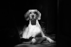 kiki (sopo_chinchaladze) Tags: dog mydog spanador blackwhite portrait helios44 pet animal canon