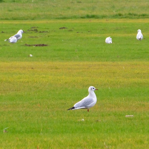 Fresh planted november grass in Błonia, arter World Youth Days in Krakow, Poland #seagull # worldyouthdays #sdm #birdwatching #błonia #mewa #grass