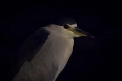 Night Watchman (gseloff) Tags: blackcrownednightheron bird wildlife predawn galvestonisland ferrylanding texas piling gseloff