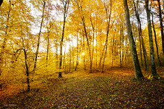 First lights of the day in the undergrowth (Gael F. Photography) Tags: autumn europe foliage forest france french haze landscape leaves mist morning natural naturallight nature november orange sun sunflare sunrise sunset tree trees twilight undergrowth wood woodwind yellow yellowleaves