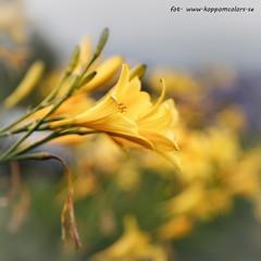 20160618095679 (koppomcolors) Tags: koppomcolors blommor flowers
