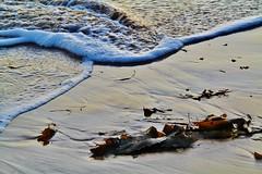 Kelp and surf, Port Elliot (Explore) (robynbrody) Tags: portelliot fleurieu peninsula southaustralia beach water sea seaweed kelp patterns australia sand ocean waves surf