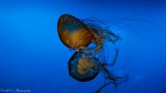 Osaka Aquarium - Jelly Fish (Gerald Ow) Tags: osaka aquarium jelly fish japan sony a7rii a7r2 fe 2470mm f28 gm geraldow ilce7rm2 blue jellyfish jellies g master