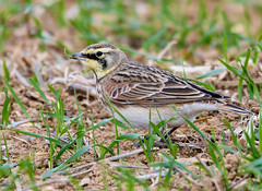 Horned lark (snooker2009) Tags: horned lark bird migration fall spring pennsylvania nature wildlfe