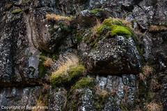 _IMG4275 (acornuser) Tags: iceland europe jlp partnership pentaxk3 landscape rain pingvellir nationalpark nature autumn rock cliff plate geological eurasian tectonic northamerican riftvalley wet bleak norse old pariament water waterfall almannagj canyon