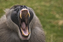 Wide yawn (jkotrub) Tags: detroit zoo animal outdoors outside fall winter autumn monkey drill teeth mouth face