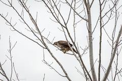 _DSC4968 (alan.forshee) Tags: bald eagle red tailed hawk raptor bird prey predator hunt fish fly soar flight feather sky