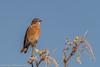 Western Bluebird (gvall66) Tags: az bluebird sedona sedonawetlandspreserve westernbluebird lifer