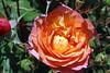 Maig_1390 (Joanbrebo) Tags: 16èconcursinternacionalderosesnovesdebarcelona canoneos70d efs18135mmf3556is eosd autofocus barcelona blumen blossom park parque parc parccervantes garden jardí jardín flors flores flowers fiori fleur