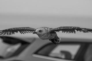 Gulls of Kent.